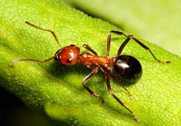 Houston Ant Pest Library