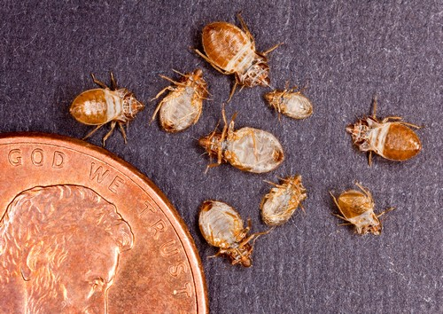 Bed Bugs compared to a penny in size