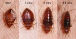 bed-bugs-eating