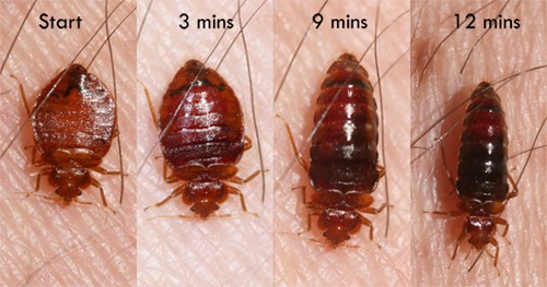 Bed bugs change color and size as they feed on you. Photos courtesy Whitney Cranshaw, Colorado State University.