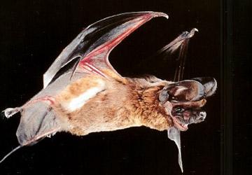 Big Free Tailed Bat