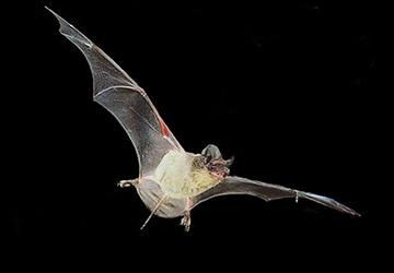 Brazilian Free Tailed Bat