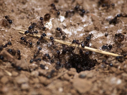 Carpenter ant control. Photo by photographer Ingrid Taylar