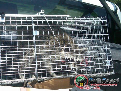 Gulf Coast Exterminators live traps a raccoon