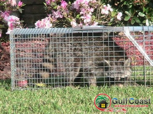 Gulf Coast Exterminators performs animal trapping on a raccoon