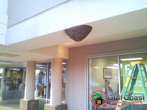 Honey Bee Swarm in Houston Texas