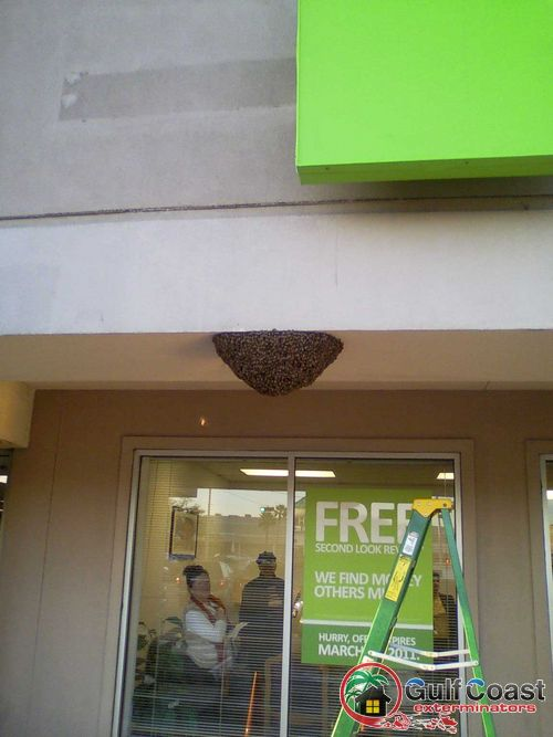Honey Bee Swarm in Houston Texas