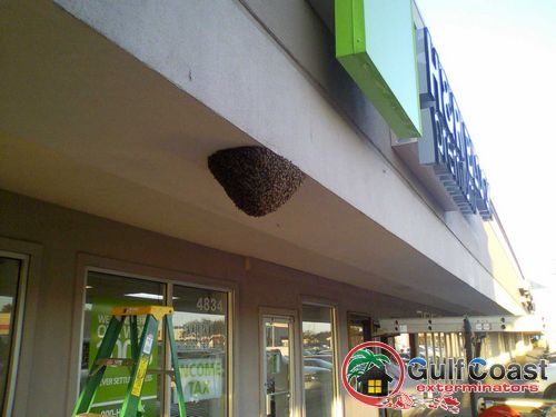 Gulf Coast Exterminators performs Honey Bee Removal in Houston Texas