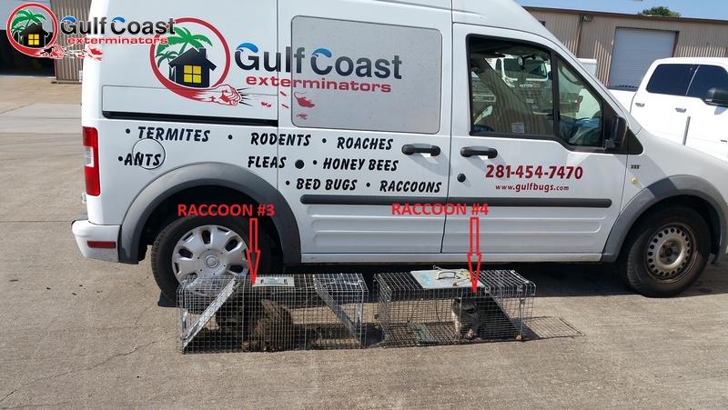 Houston Raccoon Removal Company Gulf Coast Exterminators