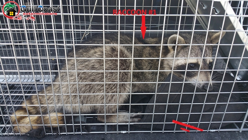 Houston Raccoon Removal Company Gulf Coast Exterminators