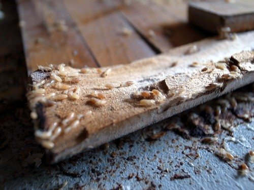Extensive termite damage in Katy