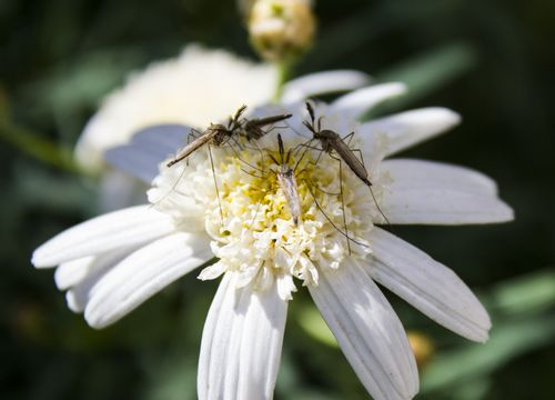Mosquitoes on flowers