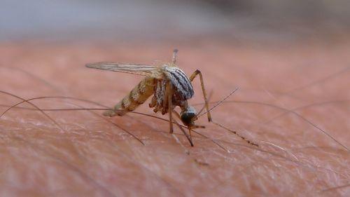 Mosquito pest sucking blood