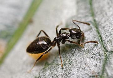 Odorus Ants