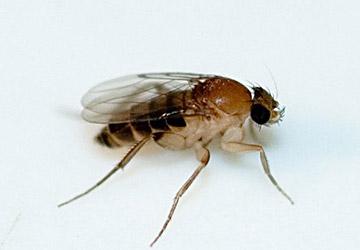 Phorid Fly