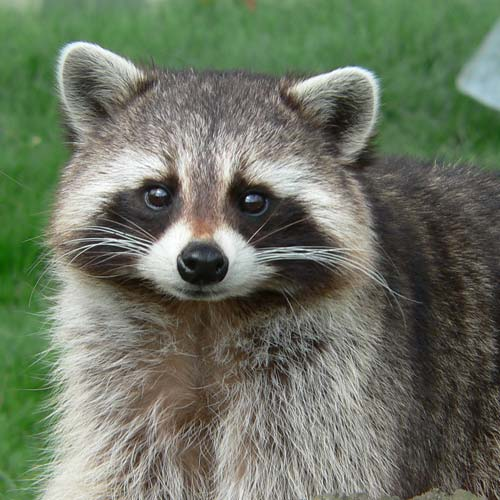 Houston Raccoon for removal