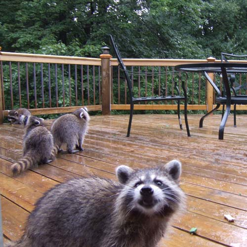 Raccoons for removal from yard.
