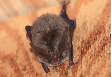 Rafinesque Bat