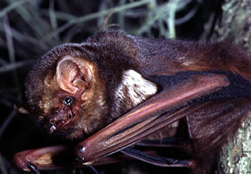 Seminole Bat