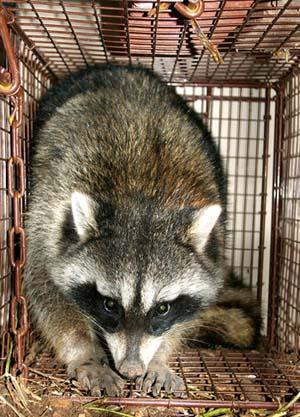Raccoon n Houston