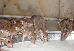 Gulf Coast Exterminators will quickly and effectively rid your business of rodents at a great price